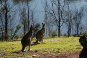 Kangaroos, one with a Joey in the poach.