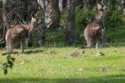 Kangaroos having Breakfast