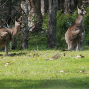 Kangaroos having Breakfast